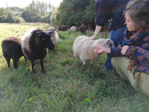Beim Schafe füttern