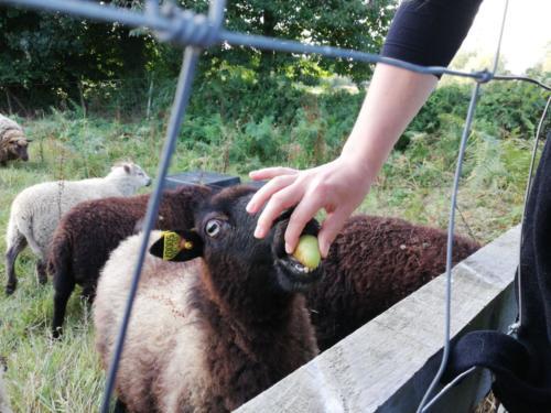 Schaf frisst Apfel