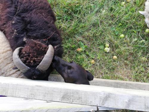 Hund leckt SChafsohr