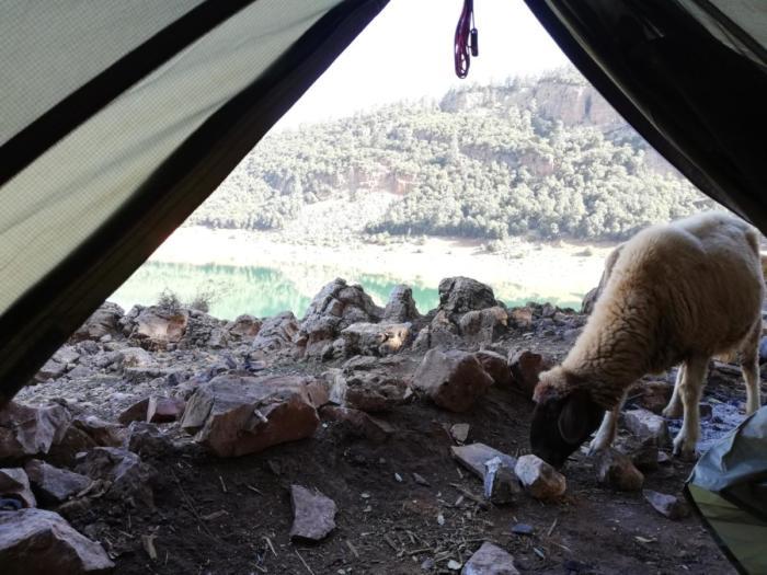 Schaf vor Zelt